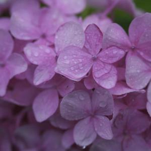 写真歴50年 夫の最も得意とする「花びらにしっとりと雨粒がついてる作品」三点です。