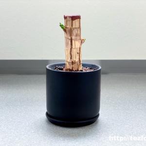 初めての観葉植物。幸福の木×かなでもの グリーンの鉢で。