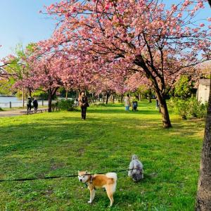八重桜満開🌸