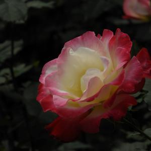 智光山公園・薔薇