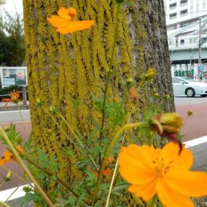 17日東京235人コロナ感染・ 今日の写真・宮前平駅近く 空き地に花と街路にて