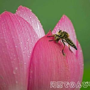 梅雨空の中で(ハスの花)
