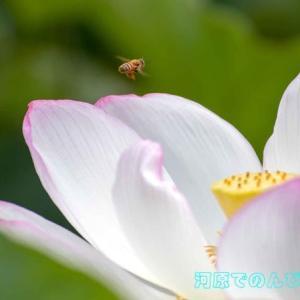 ハスの花Ⅸ