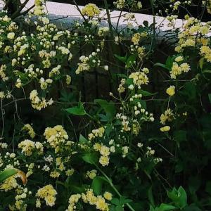 木香薔薇(3)