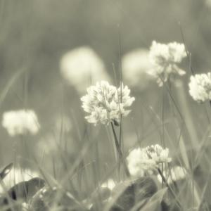 クローバーの花がかわいい