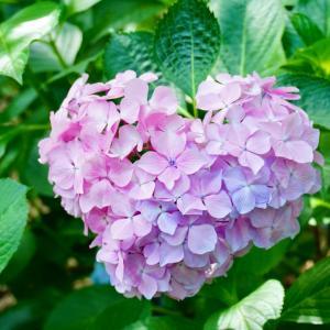 紫陽花いろいろ 山田池公園
