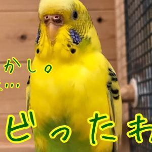 【マイホーム】ウッド・ショック!震えるインコ!