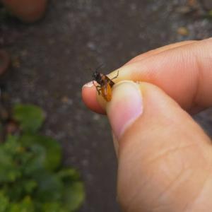 チュウレンジハバチはスデデトール