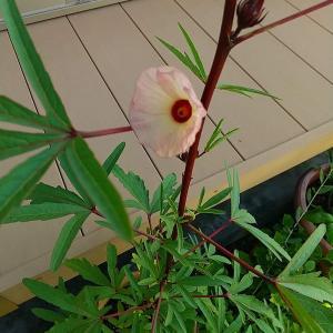 ローゼルの花が咲きました!!