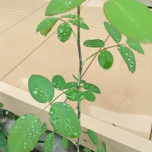 ニューオスマックをバラに葉面散布するとこうなる。