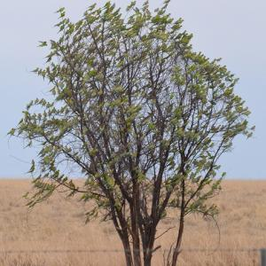 セキセイインコの木