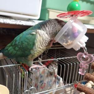 愛鳥たちのごはんとおもちゃを購入