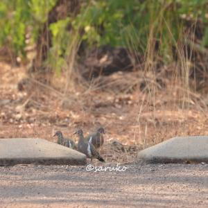 オーストラリアのユニークな鳩【アカメシャコバト】