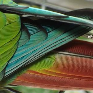 ワキコガネウロコインコ・ハルちゃんの輝く羽