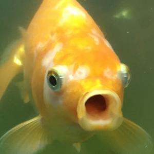 隼人錦 103日目 金魚も水も安定か