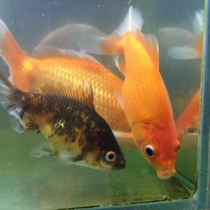 我が家の金魚の餌ランキング