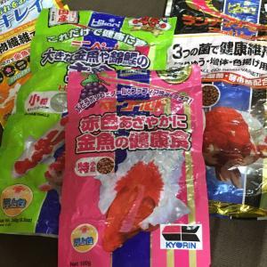 隼人錦 育成157日目 餌の消費量が過去最大に