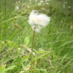 烏帽子沼湿原のワタスゲ