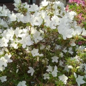白ツツジが咲きました。インゲン「モロッコ」の芽も出てきましたよ!
