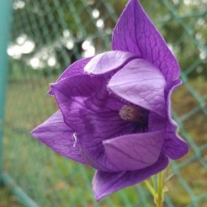 【桔梗(キキョウ)】二重咲きの花が咲きました。