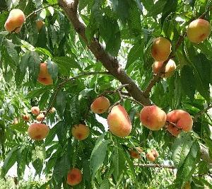 北海道の桃が食べられる農園・果樹園|ニトリ観光果樹園・高坂農園
