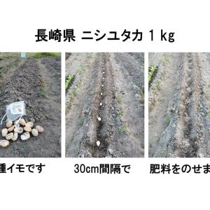 種イモの植え付けは簡単