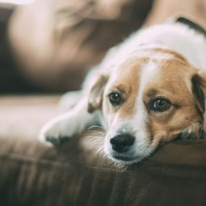 犬と人間のコミュニケーションは特別に深い