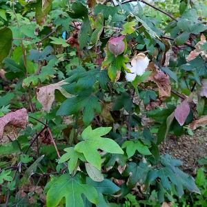 図書館の庭で木綿を栽培