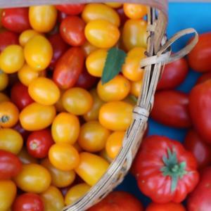 今年のトマトは…
