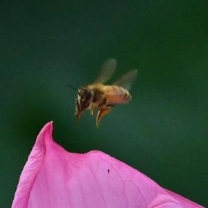 ✿不忍池 蓮の花とミツバチを撮影!