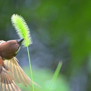 ✿不忍池でスズメを撮影!ついでに蓮の花も撮影。