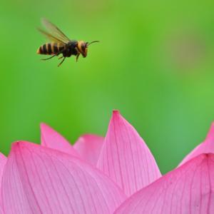 🐝不忍池とスズメバチと水滴💧