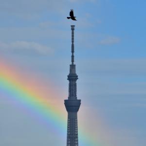🌈スカイツリーとカラスと虹!