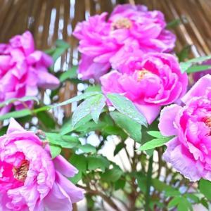 🌸上野公園 冬のぼたん園に行ってきました🌸