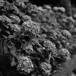 ✿Z 50で白山神社の紫陽花を撮影❀そろそろ終わりです。