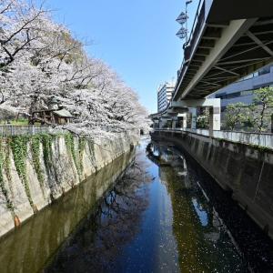 🌸江戸川公園 満開の桜🌸