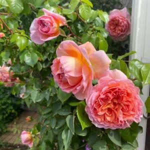 宅配のお兄さんに褒められた庭の薔薇。