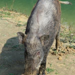 香港島ハイキングで野生の猪たちに遭遇