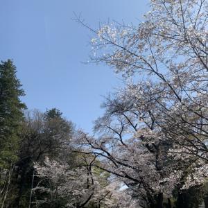 2021年 ICUの桜