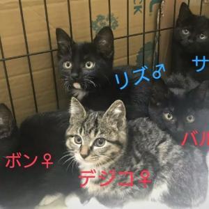 子猫たちのご紹介~タイガの兄貴添え~