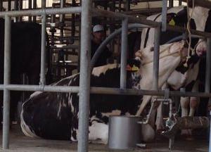 牛が好きという理由で入社したのに