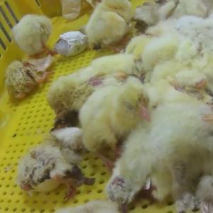 採卵鶏のオスが殺される数