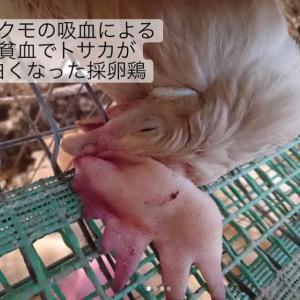 鶏に寄生して吸血を行うダニ