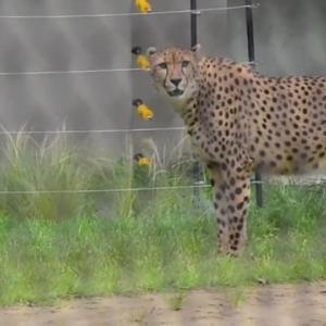 ゆうゆうチーター 千葉市動物公園にお目見え