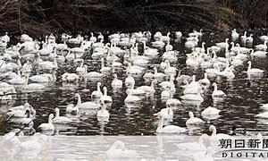 白鳥早くも県内へ 東庄の夏目の堰