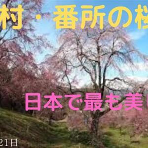 小川村・番所の桜山(GoPro 撮影)