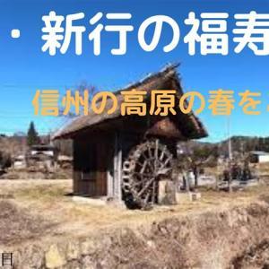 美麻・新行の福寿草(2020年3月9日)