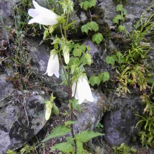 ホタルブクロ、マタタビの花