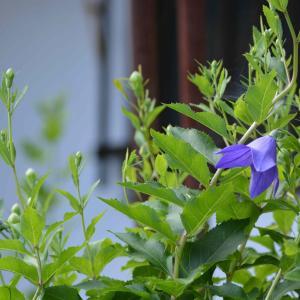 我が家の庭で、梅雨に咲くキキョウ、カスミソウ、アジサイのご紹介