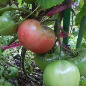 トマト、キュウリが採れてます